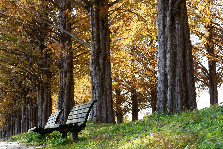 メタセコイア並木とベンチ