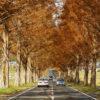 メタセコイア並木(マキノ高原)の紅葉