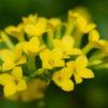 カランコエ(Kalanchoe)3月4月にベル型十字の花をグループで咲かせる花