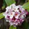 沈丁花じんちょうげ(Daphne)3月に小さな花が固まってドーム状に咲く香り良い花