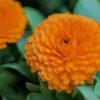 金盞花キンセンカ(Calendura)3月に咲くオレンジ八重咲きの豪華な花