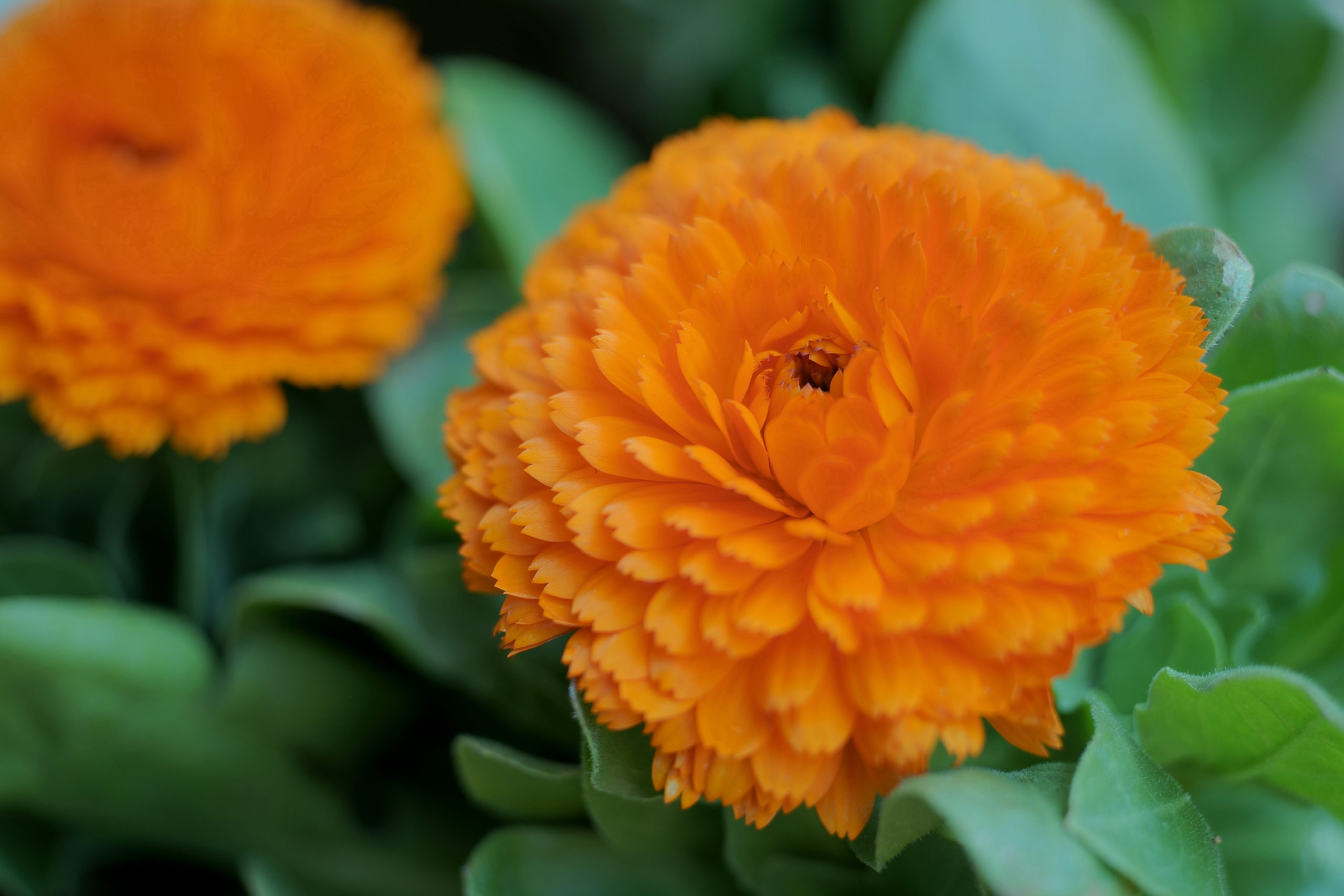 金盞花(キンセンカ)スポット