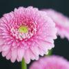 ガーベラ(Gerbera)3月4月に咲く茎が伸びる菊のような花