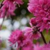 菊桃キクモモ(Amygdalus persica cv. Stellata)3月4月に咲く菊に似た濃い桃色の花