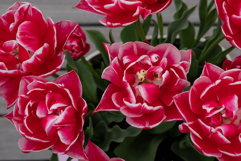 チューリップ コロンブス(Tulip Columbus)