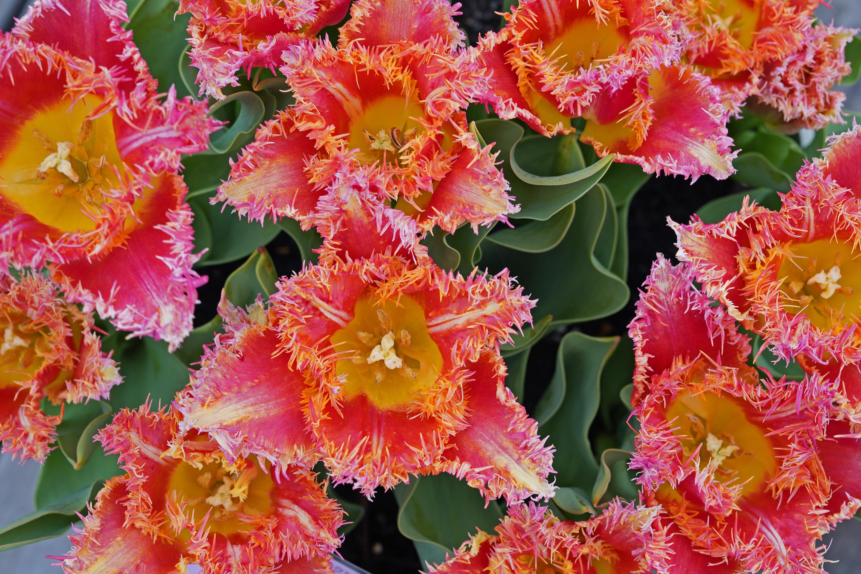 チューリップ ジョイントデビジョン(Tulip Joint Division)