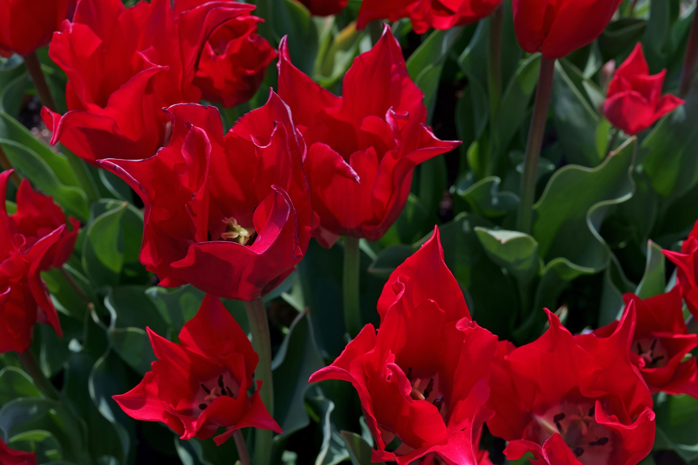 チューリップ プリティウーマン(Tulip Pretty Woman)