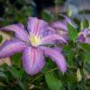 クレマチス Clematis(フラワーパーク江南)5月6月に咲く花弁の凹凸が特徴のつる性の花