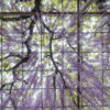こうなん(江南)藤まつり(曼荼羅寺公園)4月5月に咲く葡萄のように垂れ下がる花