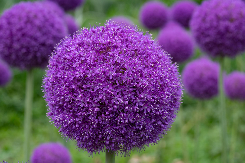 アリウム・ギガンチューム(Giant onion)近景