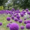 アリウム・ギガンチューム(Giant onion)