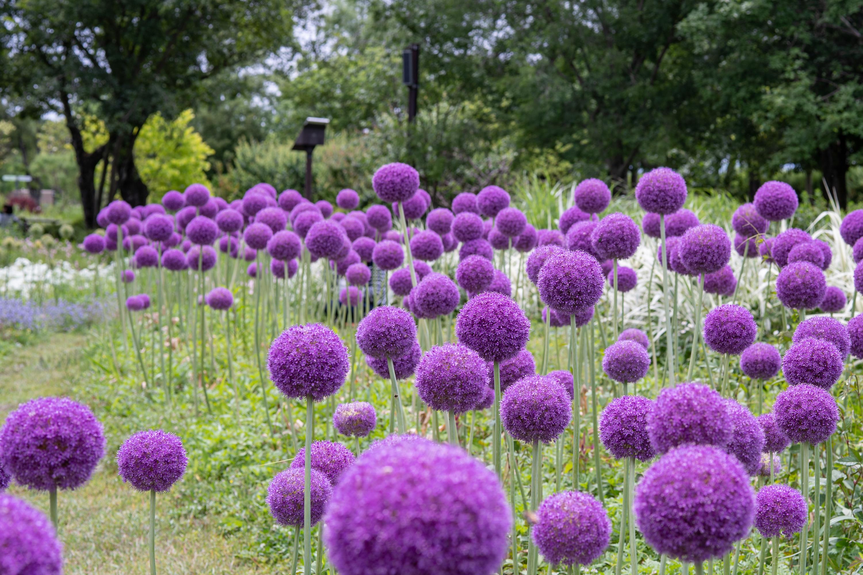 アリウム・ギガンチューム(Giant onion)遠景