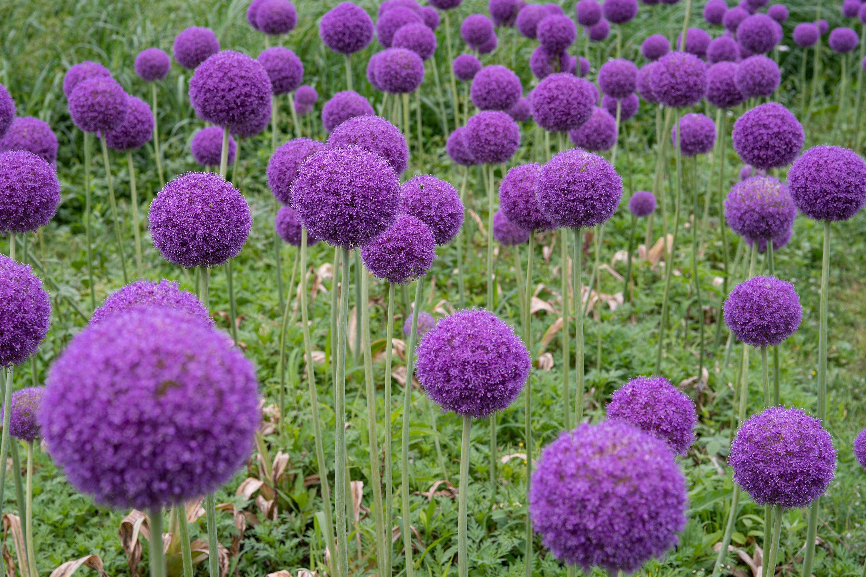 アリウム・ギガンチューム(Giant onion)中景