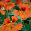 ナスタチウム・フェニックス(Nasturtium phoenix)