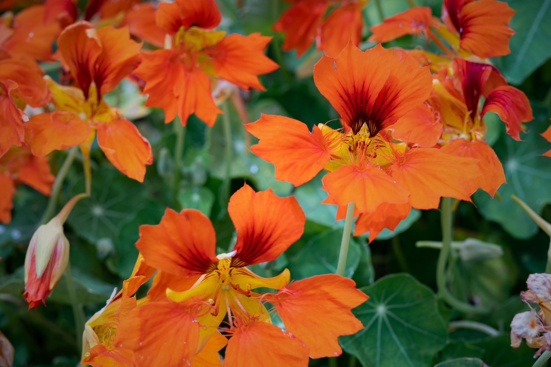 ナスタチウム・フェニックス(Nasturtium phoenix)中景