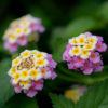 ランタナ(Lantana)6月7月に咲く小さな紫陽花のような花