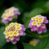 ランタナ(Lantana)6月7月に咲く小さな紫陽花のような花