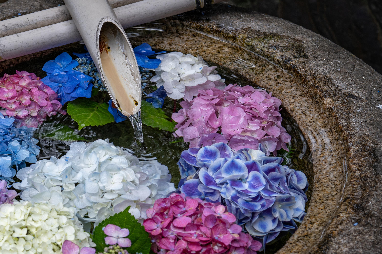 つくばいに浮かぶ紫陽花(御裳神社)