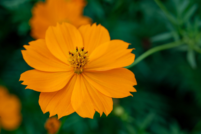 キバナコスモス(Golden cosmos)近景