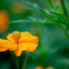 キバナコスモス(Golden cosmos)9月に咲く鮮やかなオレンジ色の花