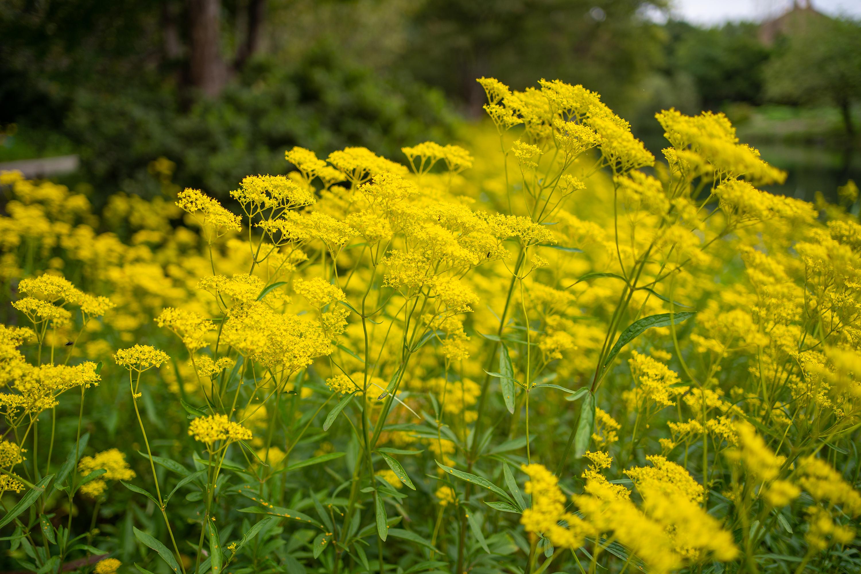 オミナエシ「女郎花」(Golden lace)中景