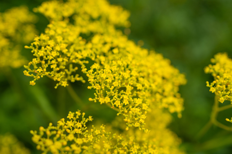 オミナエシ「女郎花」(Golden lace)近景