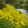 オミナエシ「女郎花」(Golden lace)9月に咲く黄色の小さな花