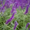 アメジストセージ(Velvet sage)9月に咲く紫のフカフカの花
