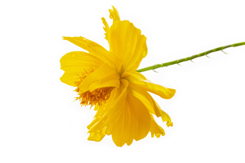 キバナコスモス(Golden cosmos)ハイキー