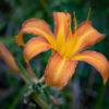 ノカンゾウ「野萓草」(Orange Daylily)9月に咲くユリに似たオレンジ色の花