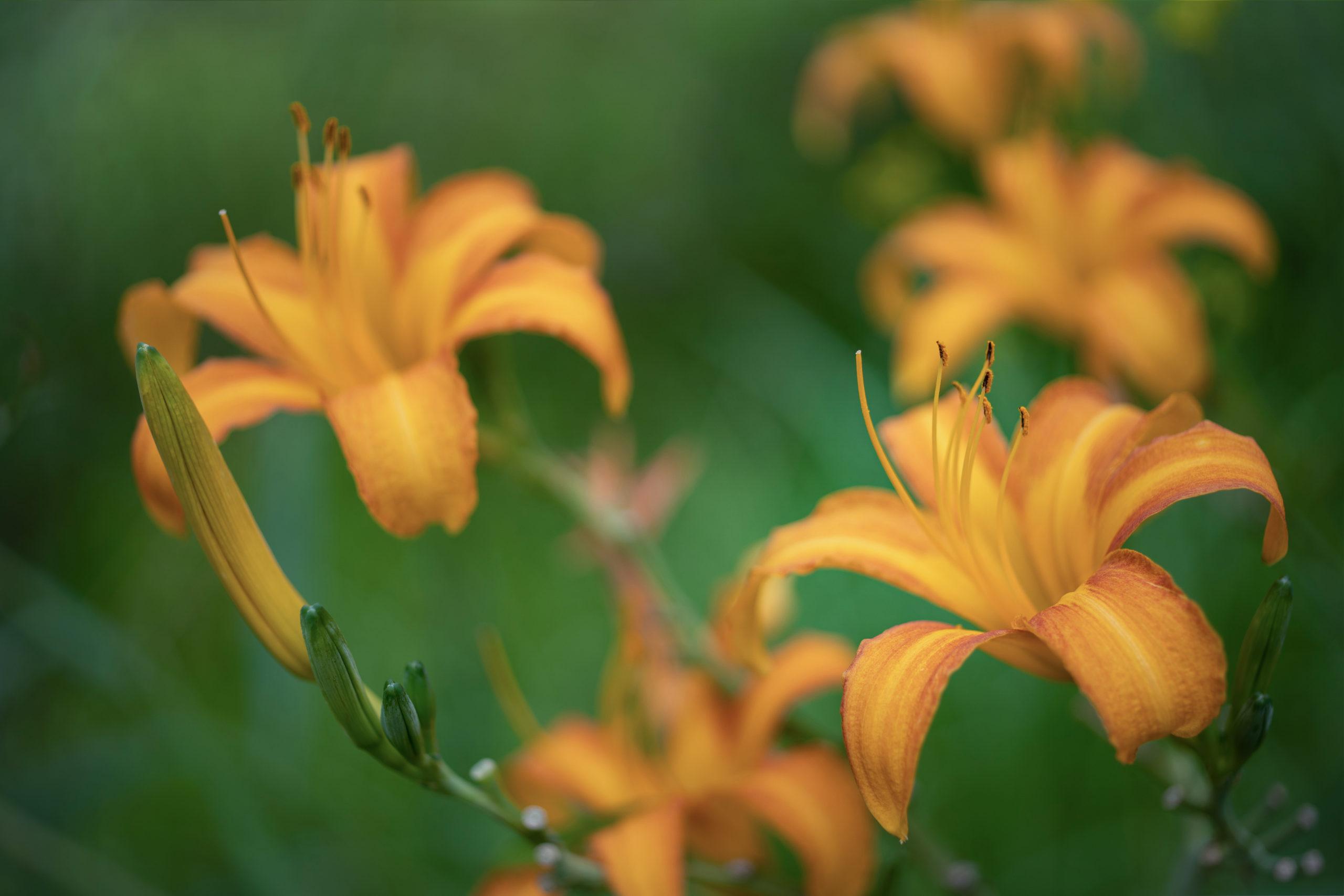 ノカンゾウ「野萓草」(Orange Daylily)中景➁