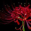 ヒガンバナ「彼岸花」(Red spider lily)9月に咲く曼珠沙華