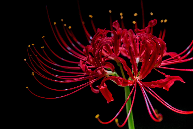 ヒガンバナ「彼岸花」(Red spider lily)マクロ