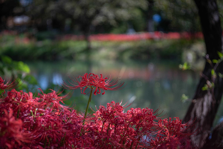 ヒガンバナ「彼岸花」(Red spider lily)近景