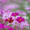 コスモス「秋桜」(cosmos)10月に咲く儚げな花