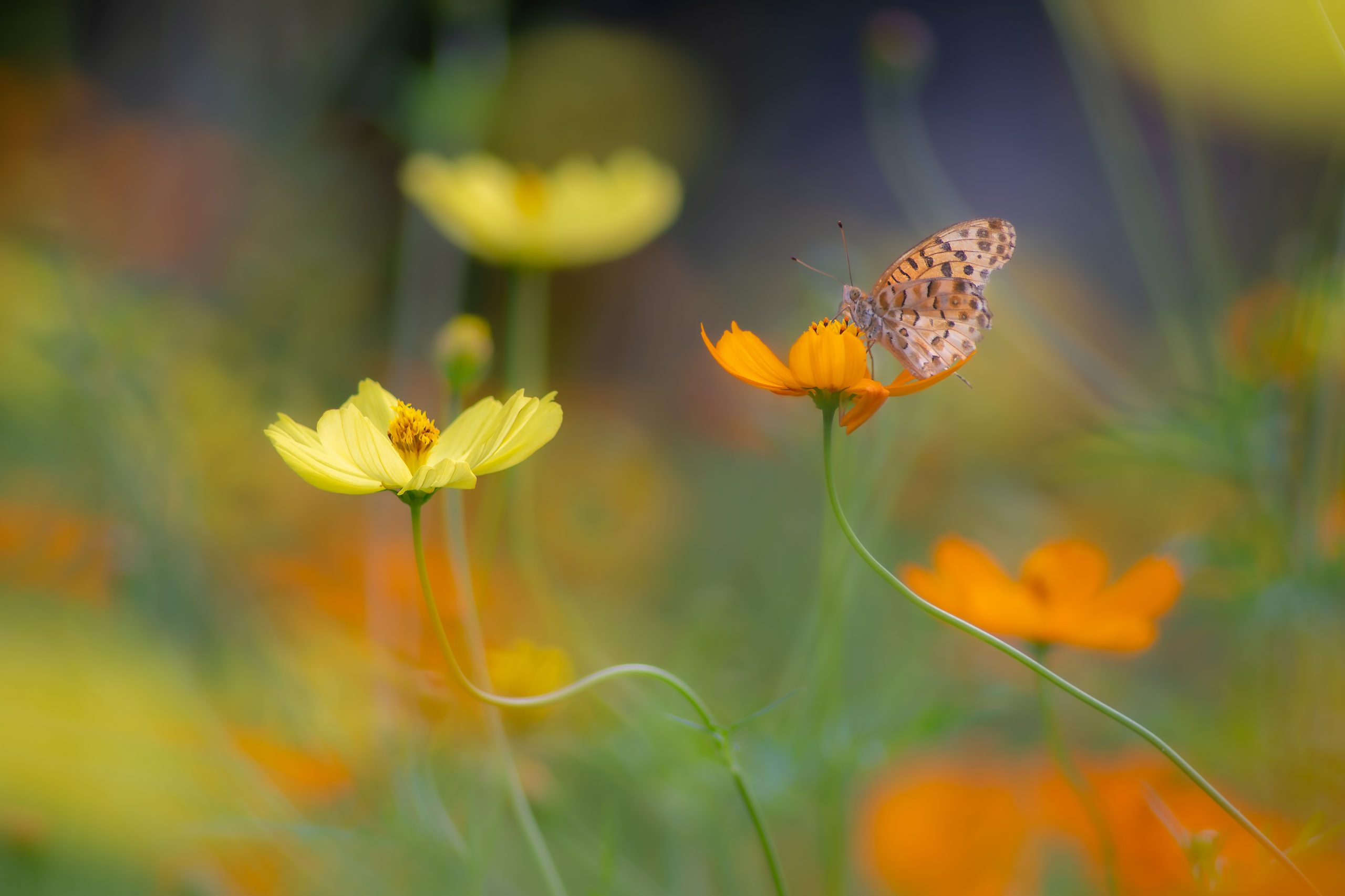 キバナコスモスとタテハ蝶