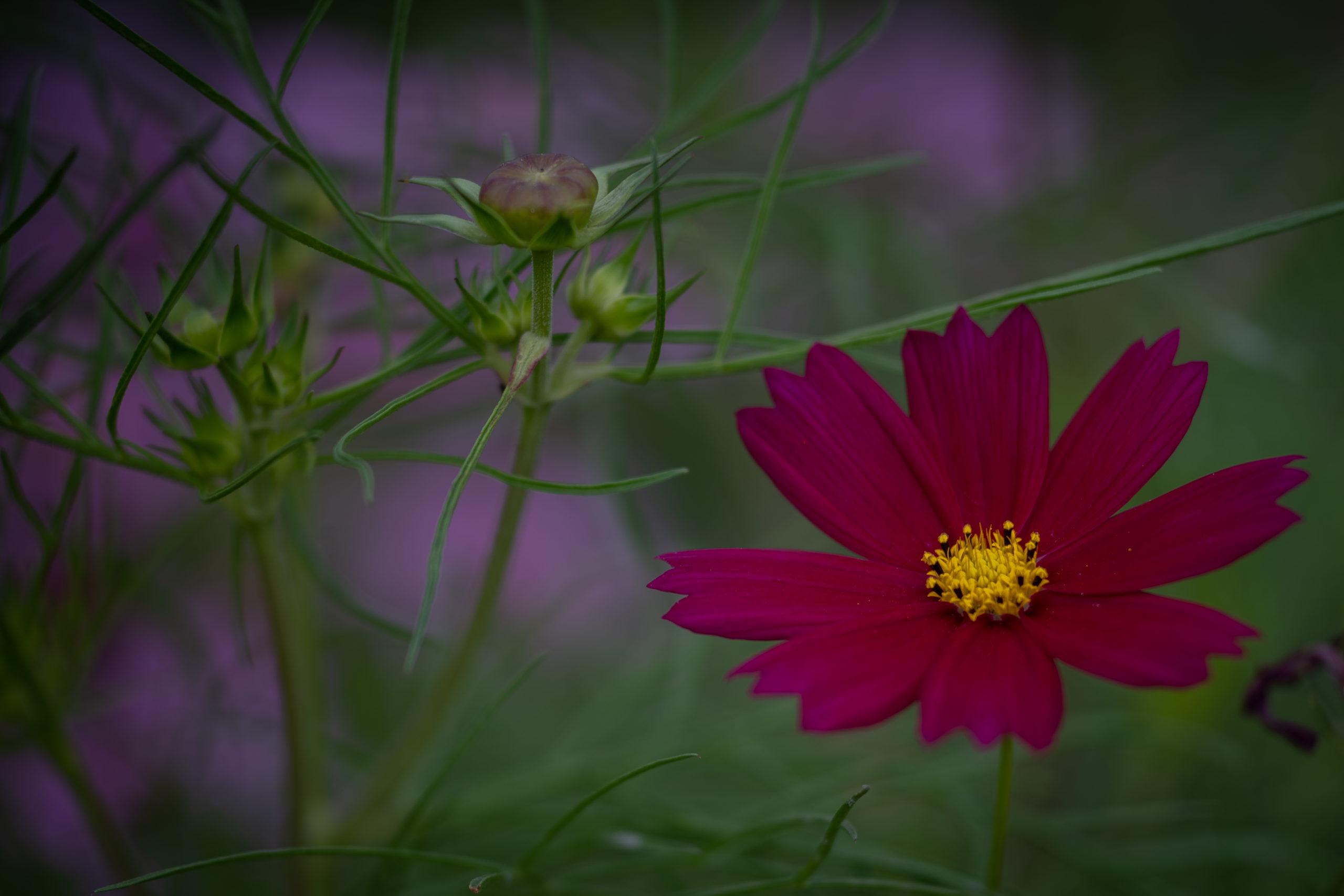 コスモス「秋桜」(cosmos)の硬い蕾と葉