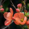 木瓜(ボケ)(Japanese quince)2月3月に咲く朱色が鮮やかな花