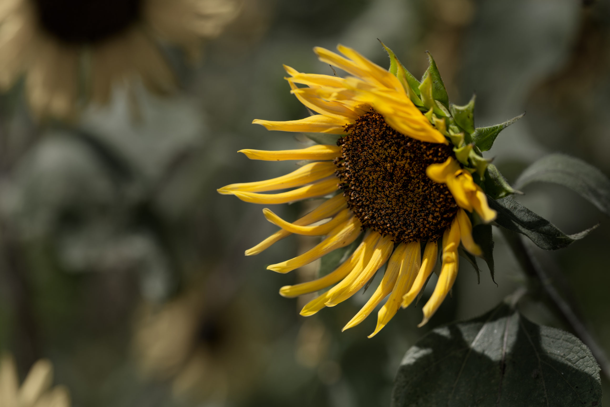 灼熱の向日葵