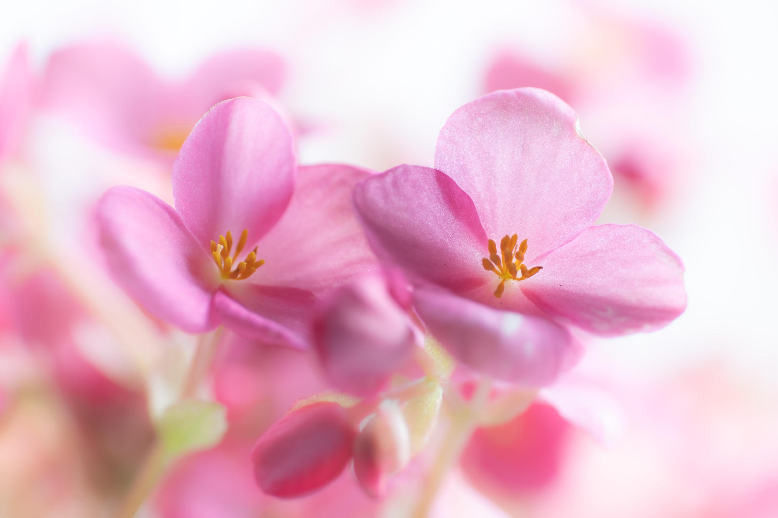 ベゴニア・ラブミー(Begonia High Key)ハイキー