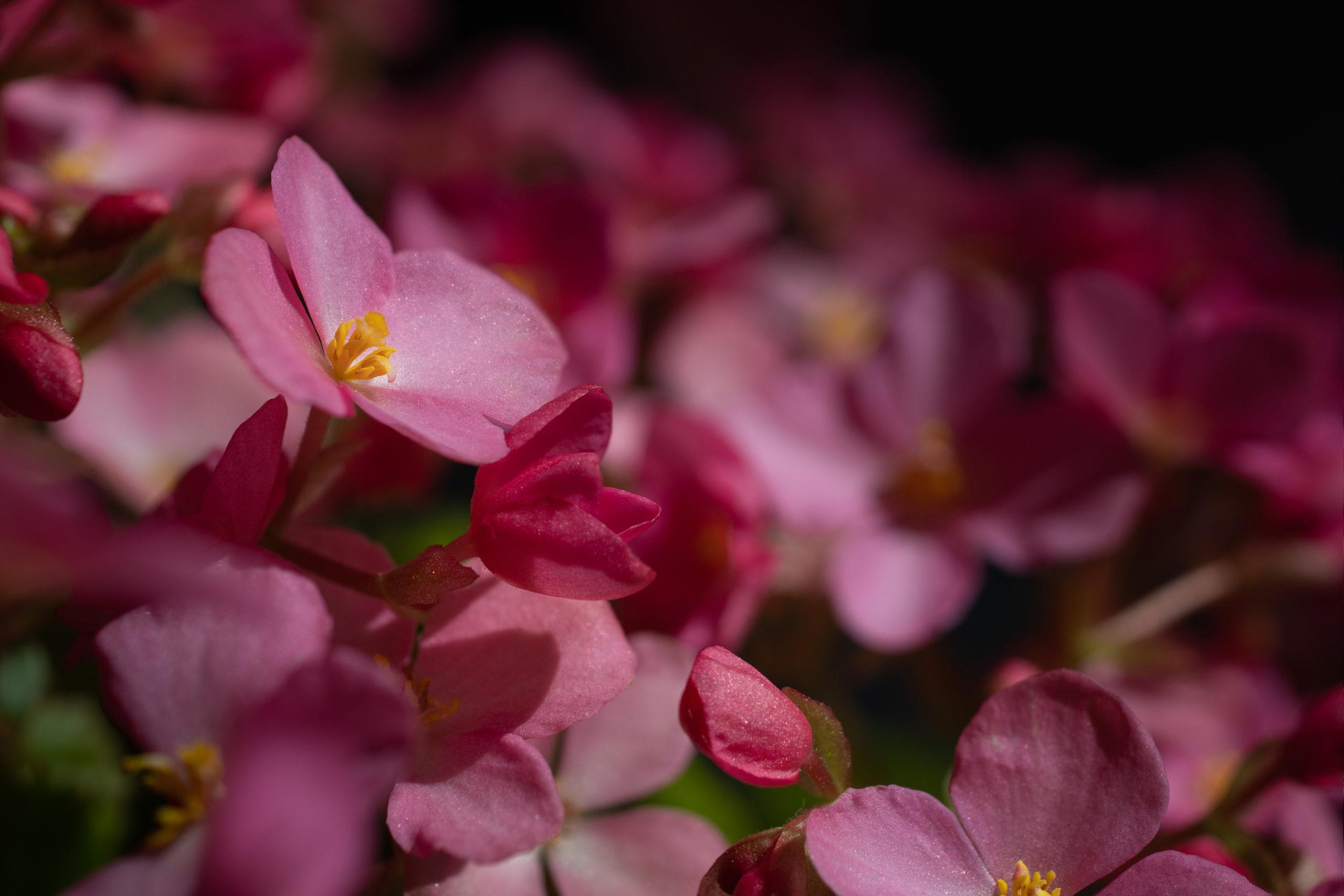 ベゴニア・ラブミー(Begonia Low Key)ローキー