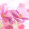 ベゴニア・ラブミー(Begonia)10月~12月に咲くピンクのクリスマスベゴニア
