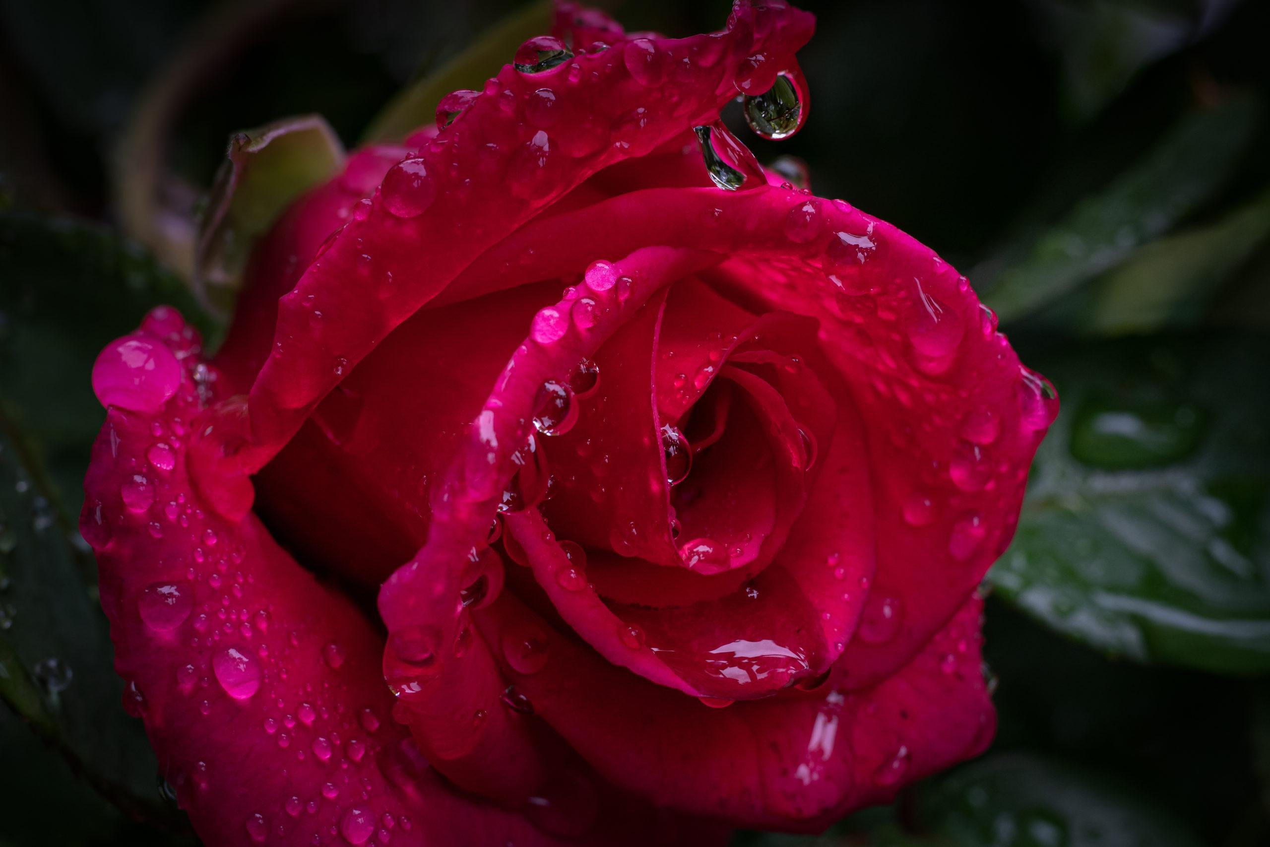 Rose 薔薇