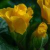 プリムラ・ジュリアン(Julian hybrid primrose)12月~3月に咲く色とりどりの花