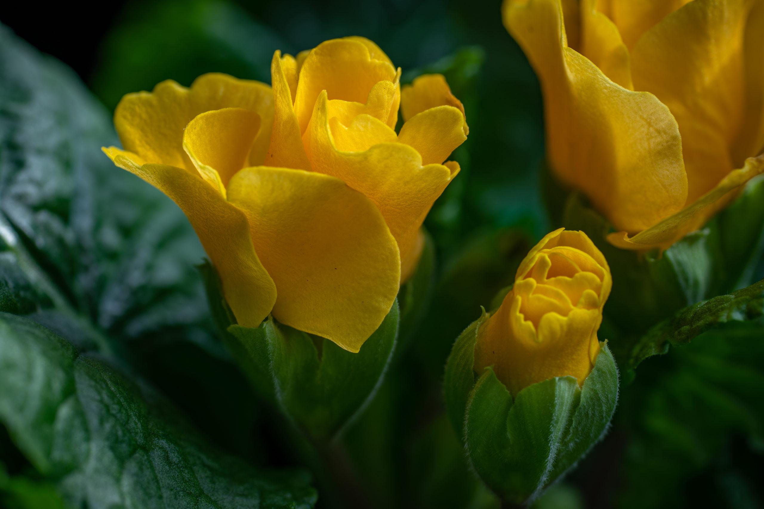 プリムラ・ジュリアン(Julian hybrid primrose)イエローローキー