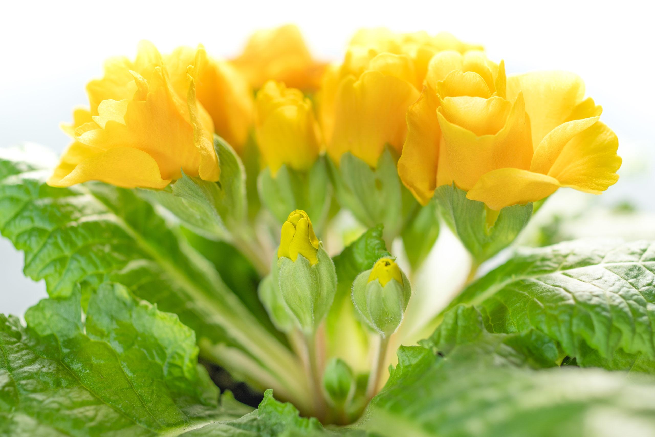 プリムラ・ジュリアン(Julian hybrid primrose)イエローハイキー