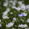 ネモフィラ(Nemophila)4月に咲く美しい水色の花