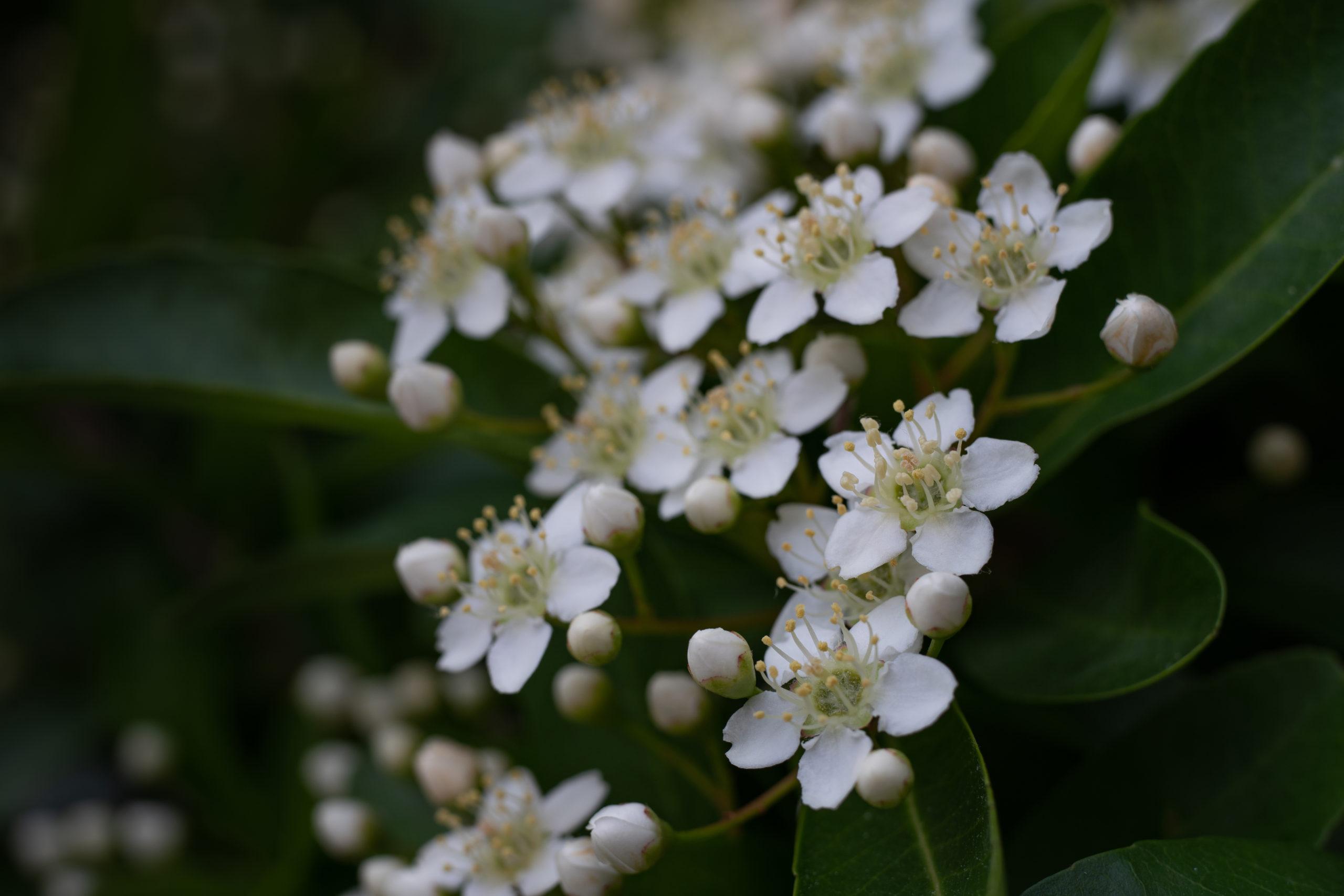 ピラカンサス(Firethorn)ピラカンサ、常盤山櫨子(トキワサンザシ)花付き