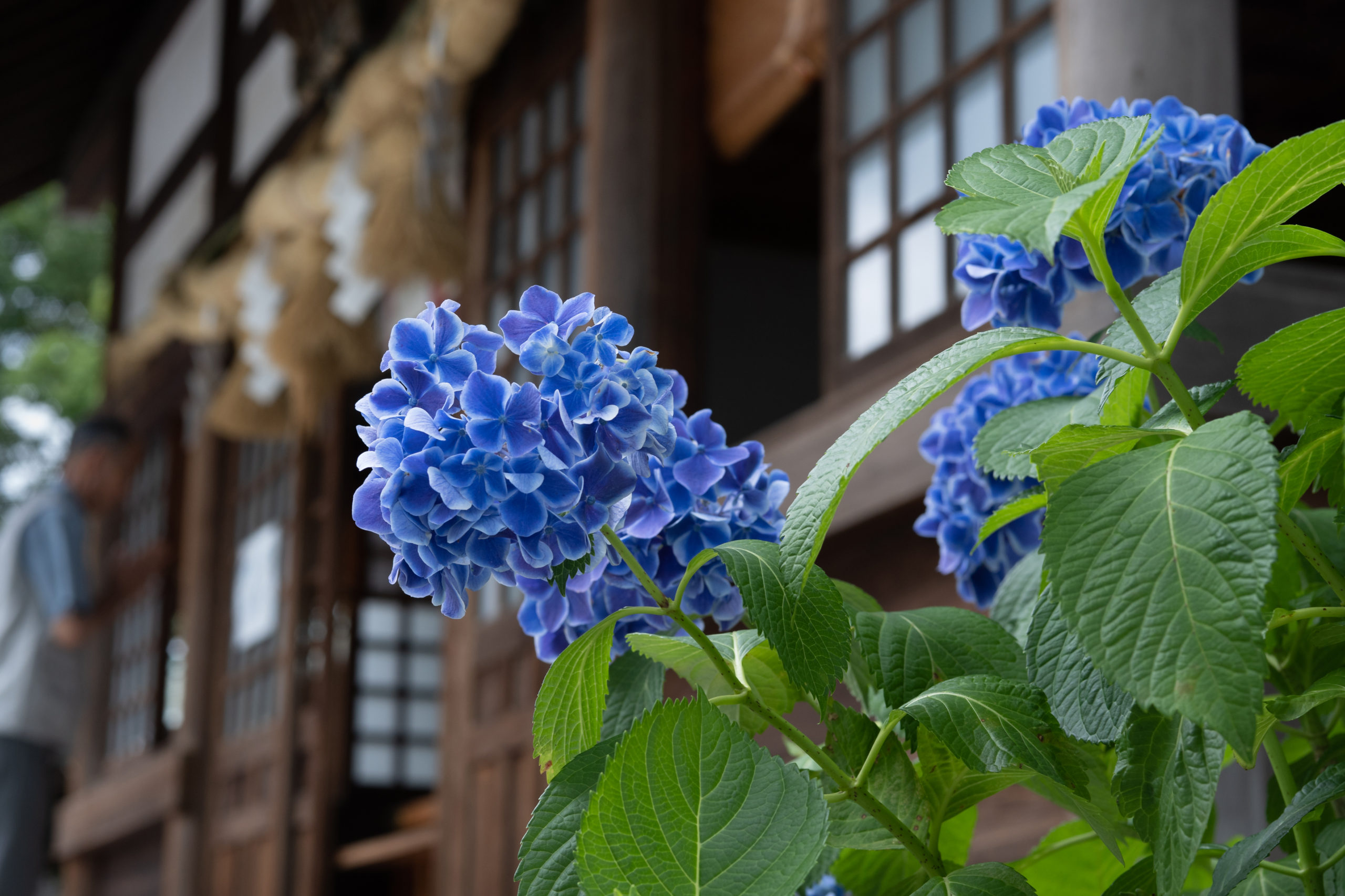 紫陽花と御裳神社に参拝する人
