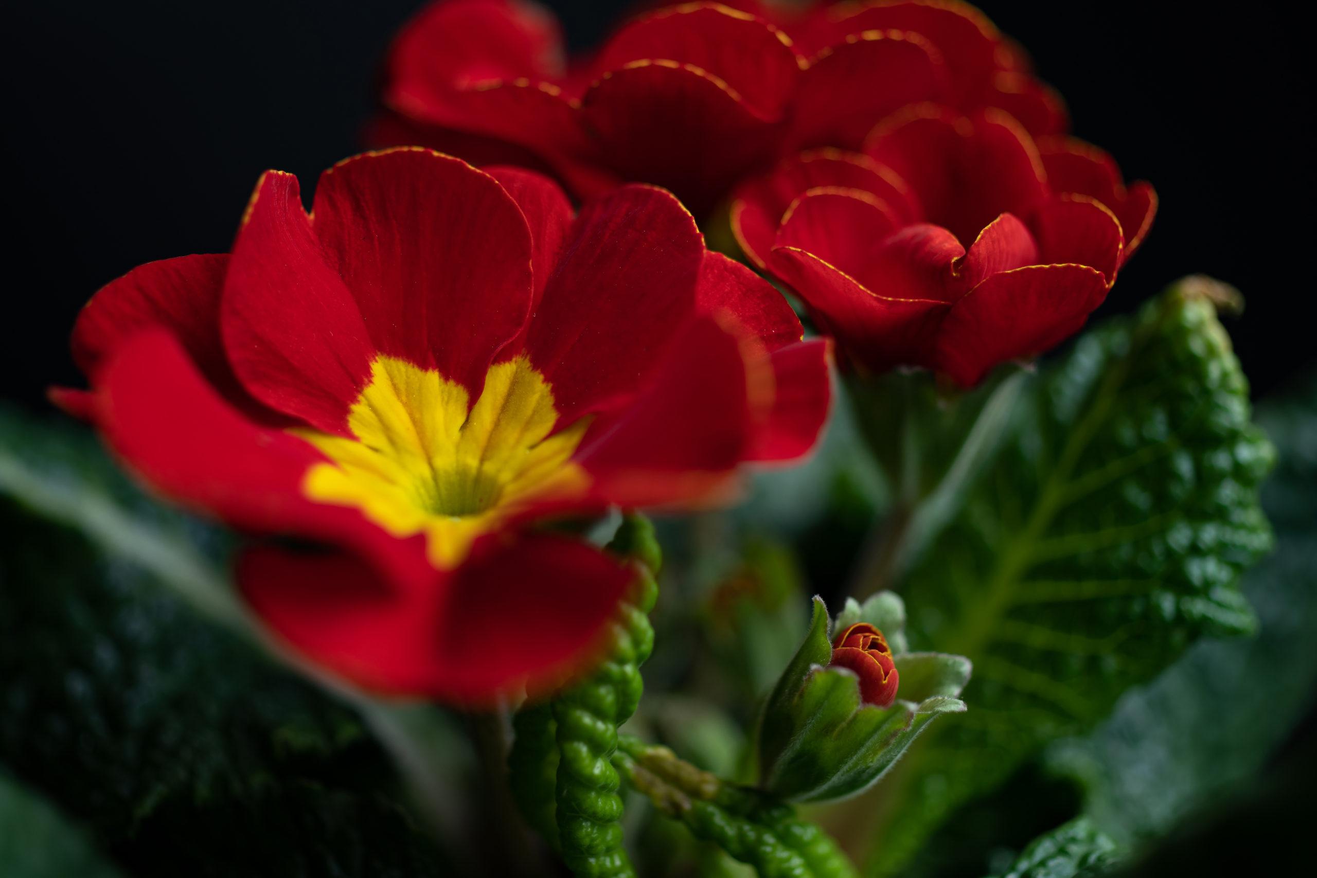 Polyanthus primrose low key